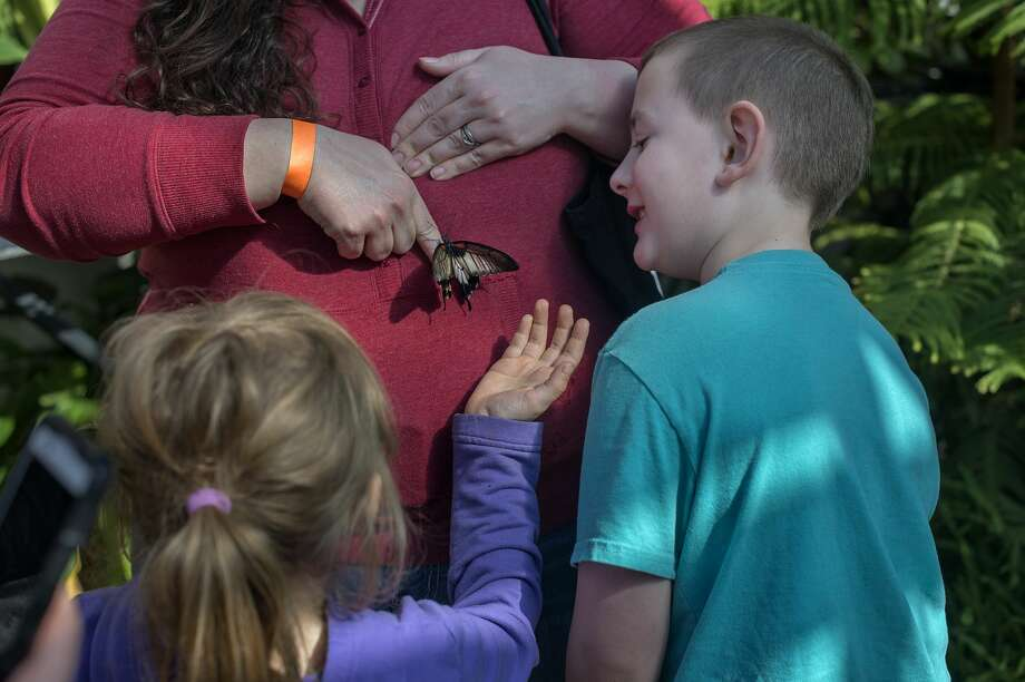 Kathleen Miller tries to get a great yellow Mormon to move onto her finger while Isabella Price, 7, and Viktor Miller, 6, all of Caro watch during a field trip to the Dow Gardens' conservatory Wednesday afternoon. The Butterflies in Bloom exhibit at Dow Gardens is open through April 16 from 10 a.m. to 4 p.m. Between 60-70 different species of butterflies are one display at the conservatory. Photo: Brittney Lohmiller/Midland Daily News