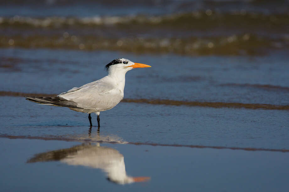 Non-breeding royal terns have a white forehead with a black cap reduced to a white speckled headband and ratty crest.  Photo Credit:  Kathy Adams Clark.  Restricted use Photo: Kathy Adams Clark / Kathy Adams Clark/KAC Productions