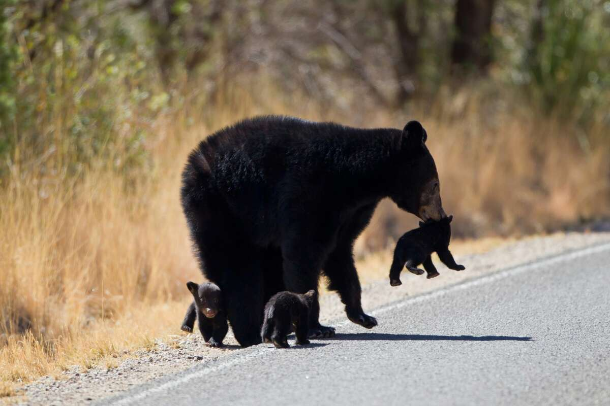 A bear cub at Big Bend National Park was struck and killed by a car Friday.