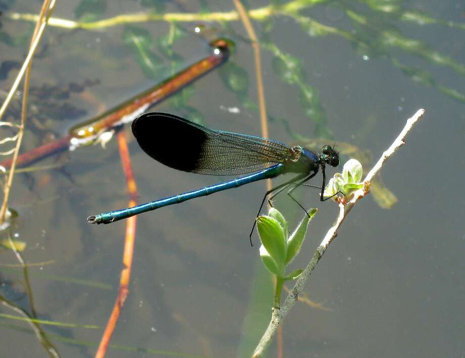 River Jewelwing is California's prettiest Damselfly, found in rivers in the far north of the state. Photo: Greg Kareofelas