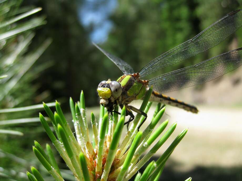 Pacific Clubtail is an uncommon dragonfly, only seen when you're in the right place at the right time. Photo: Greg Kareofelas