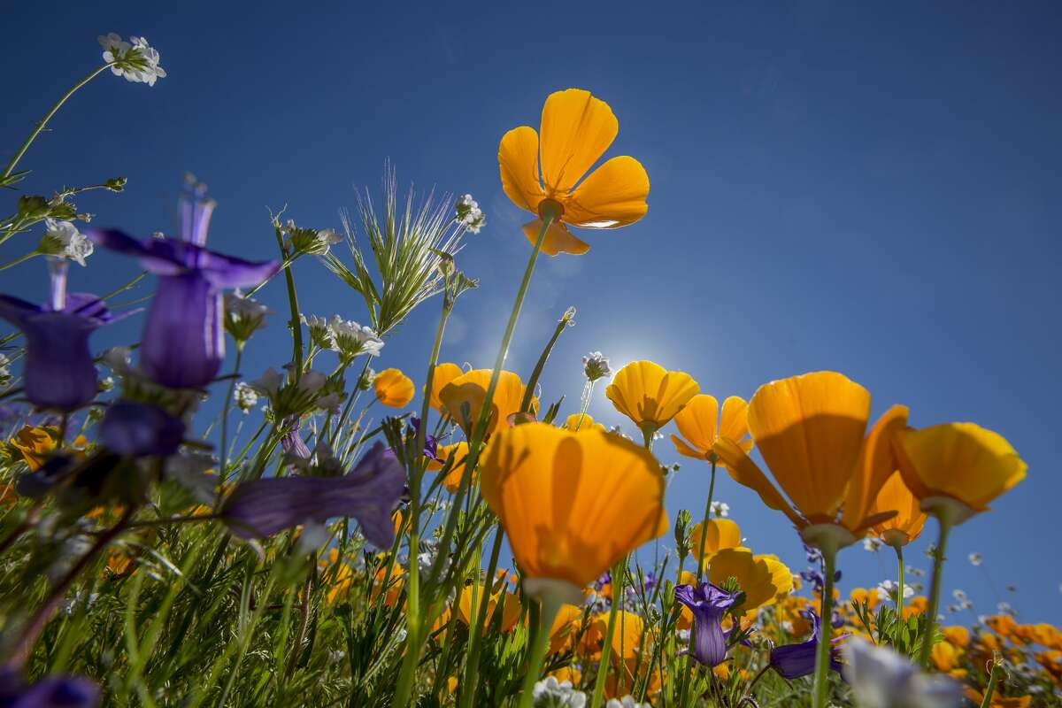 HEMET, CA - MARCH 16: California poppies (R) and Canterbury bells bloom after prolonged record drought gave way to heavy winter rains, causing one of the biggest wildflower blooms in years on March 16, 2017 at Diamond Valley Lake, near Hemet, California.