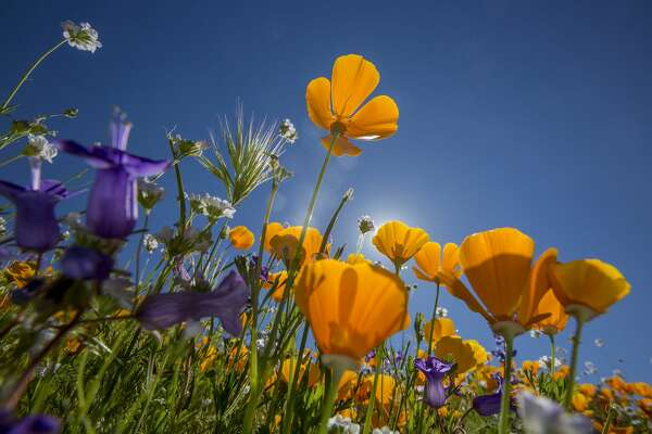 HEMET, CA - MARCH 16: California poppies (R) and Canterbury bells bloom after prolonged record drought gave way to heavy winter rains, causing one of the biggest wildflower blooms in years on March 16, 2017 at Diamond Valley Lake, near Hemet, California. The winter storms brought relief to most of the region suffering years of worsening record drought conditions though aquifers remain very low and would require many more years of heavier than average rainfall to recharge water tables to pre-drought levels.