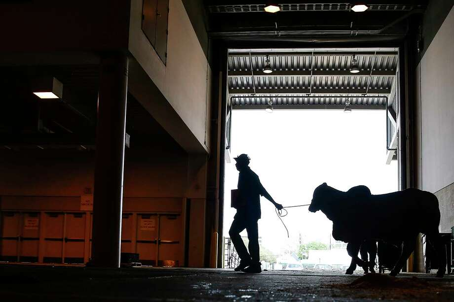 A man walks his Brahman cow past an open door at the NRG Center on the opening day of the 2017 Houston Livestock Show and Rodeoin Houston. (Michael Ciaglo / Houston Chronicle ) Photo: Michael Ciaglo, Staff / Michael Ciaglo