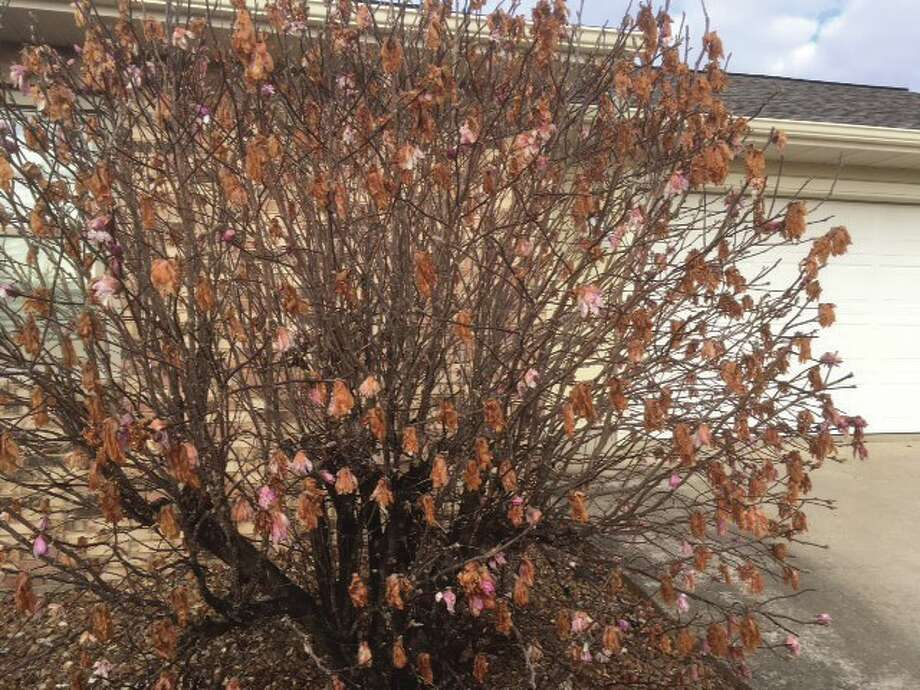 Intelligencer reader Bill Craft snapped this photo that illustrates the wild ride the area's weather has taken. Craft says his magnolia bush started to bud in February and a few flowers began to open. By the first week in March, it was in full bloom. The freeze we had earlier in the week reduced it to this. Photo: Bill Craft • For The Intelligencer