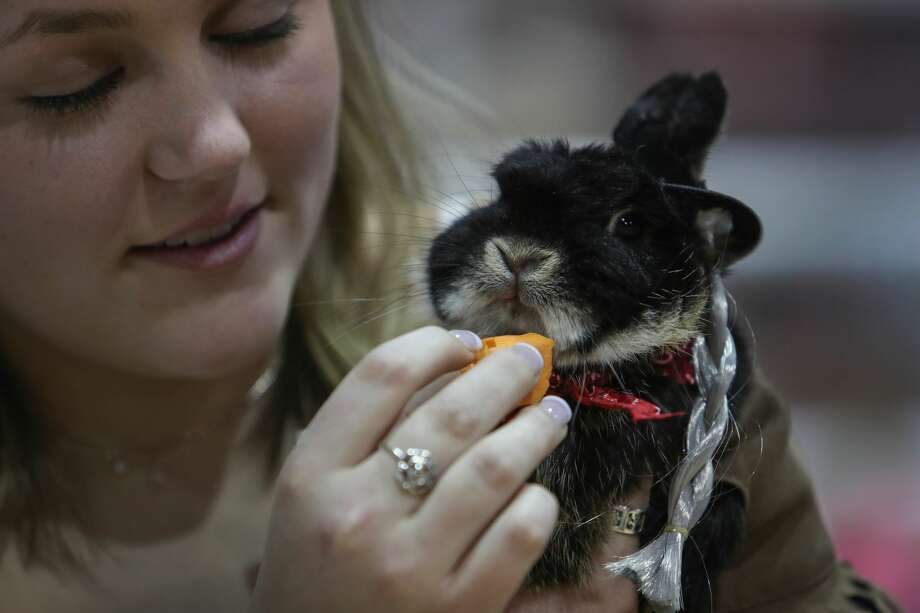 The bunnies and the cavies came out dressed to kill (sort of) Saturday, March 18, 2017, at the Houston Livestock Show and Rodeo's rabbit and cavy costume contest. The outfits were varied and the crowd had a good time.>>>Scroll through the gallery to see highlights from the contest as well as to get a look at the winners Photo: Steve Gonzales/Houston Chronicle