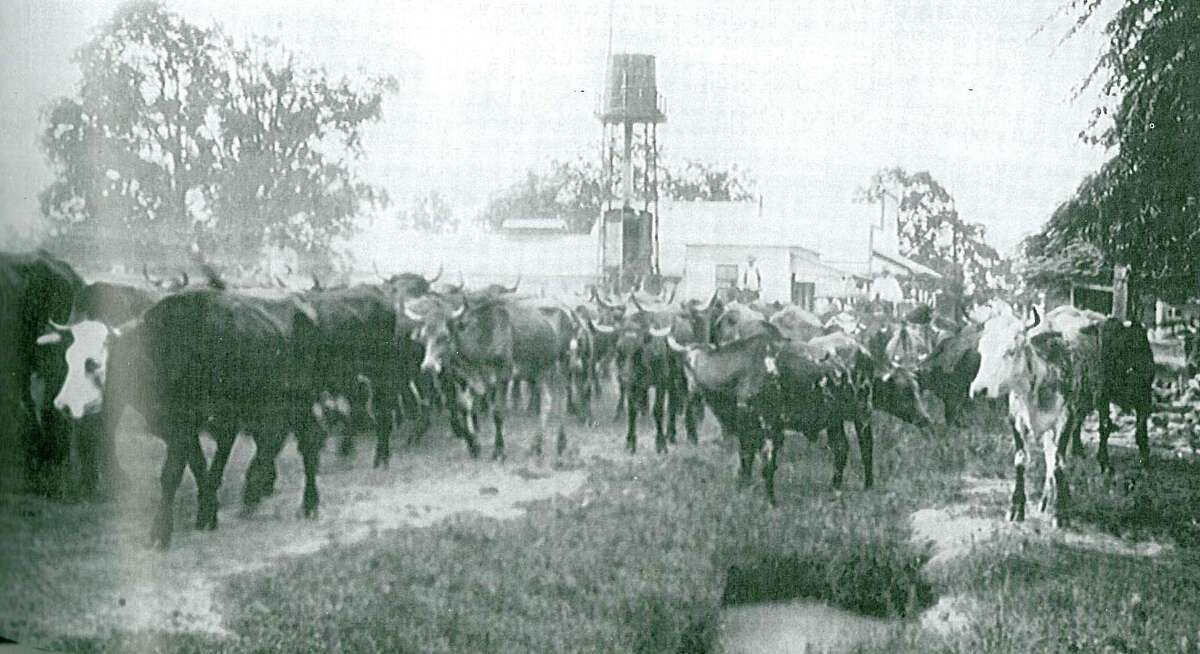 """A cattle drive through downtown Magnolia. Photo from """"Montgomery County, Texas: Picture of a Dream Coming True"""" courtesy Magnolia historian Celeste Graves."""