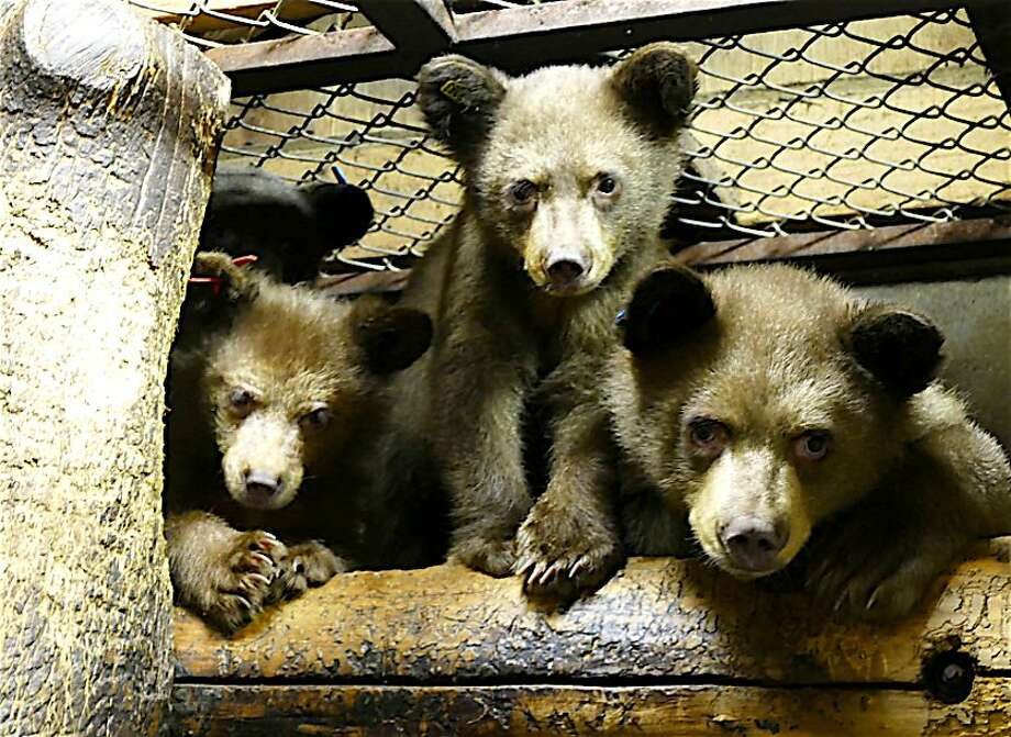 Lake Tahoe Wildlife Care took in three orphaned bear cubs after their mother was hit and killed by a car in Yosemite National Park. They were among half a dozen cubs nurtured through winter for release in 2016-2017. Photo: Tom Stienstra, Tom Millham / Lake Tahoe Wildlife Care