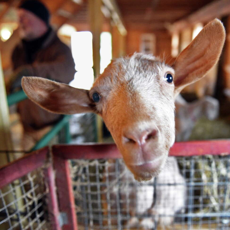 One of farmer Jay Lavery's dairy goats in his barn Tuesday Jan. 17, 2017 in Sharon Springs, NY. Lavery's video of him dancing in his barn with his animals went viral. (John Carl D'Annibale / Times Union)