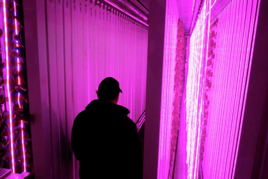 LED light strips provide spectrums of red and blue light to lettuce growing inside a Freight Farms shipping container hydroponic farm as Anthony Carioto, president of Carioto Produce and Seafood, checks on the lettuce on Wednesday, March 15, 2017, in Green Island, N.Y.   (Paul Buckowski / Times Union) Photo: PAUL BUCKOWSKI / 20039964A