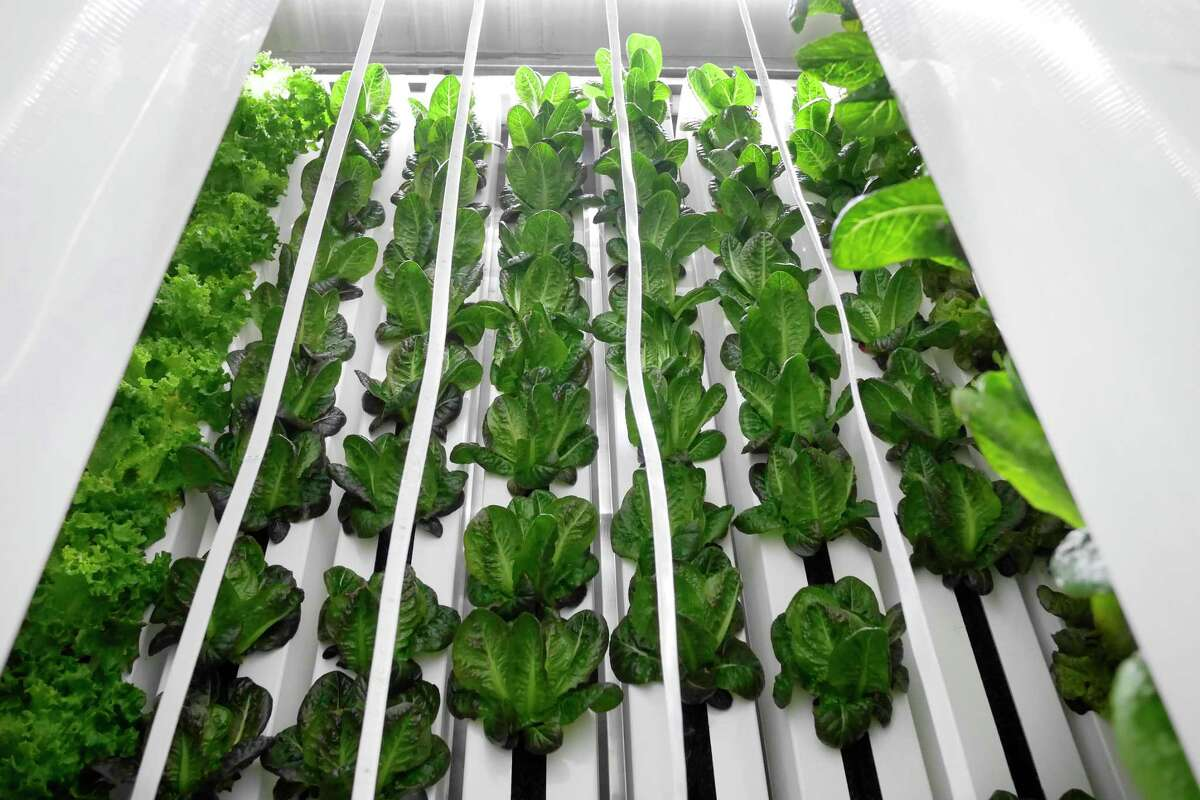 A view of some of the lettuce growing vertically inside a Freight Farms shipping container hydroponic farm on Wednesday, March 15, 2017, in Green Island, N.Y. (Paul Buckowski / Times Union)