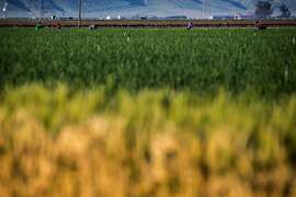 Workers at a farm off of Highway 99 on Friday, March 17, 2017, in Bakersfield, Calif. With Donald Trump vowing a crackdown on undocumented residents, farmers in Kern County and across the state are worried about whether they will have the workers needed to get crops in the ground and move them to market. The concerns are even greater among the undocumented workers, who see the lives they�ve built for themselves and their families threatened. The supervisor feared to let the photographer identify the faces of the workers and asked to have pictures taken at a distance.