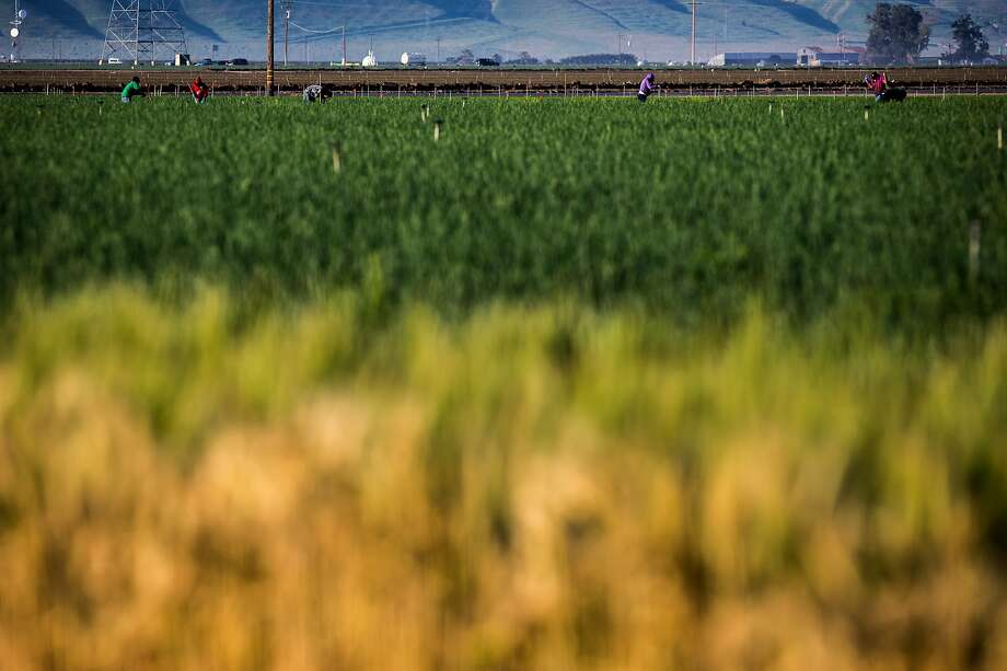 Workers at a farm off of Highway 99 on Friday, March 17, 2017, in Bakersfield, Calif.  Photo: Santiago Mejia, The Chronicle