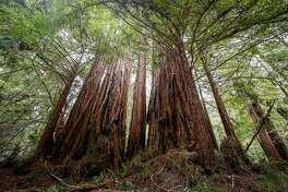 Redwood trees line the trail in Big Basin Redwoods State Park on Sunday 19, 2017 in Boulder Creek, Calif.