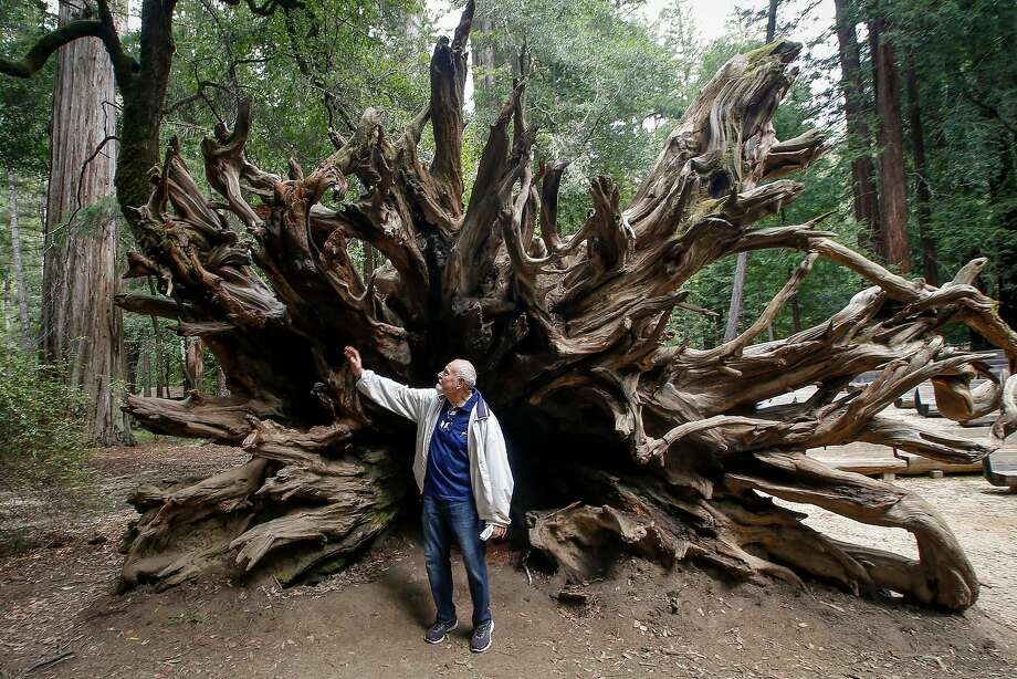 Ben Johnson reaches out to touch the roots of a giant redwood tree that  fell in