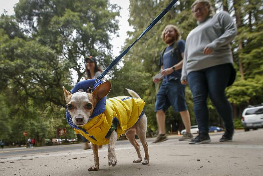 A Chihuahua, pictured in a file photo. Photo: Tony Avelar, Special To The Chronicle