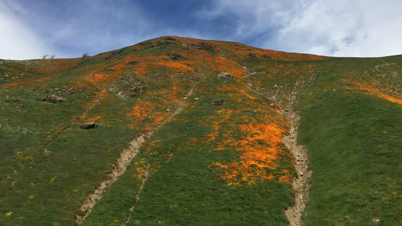 The Grapevine is bursting with California poppies in a rare bloom