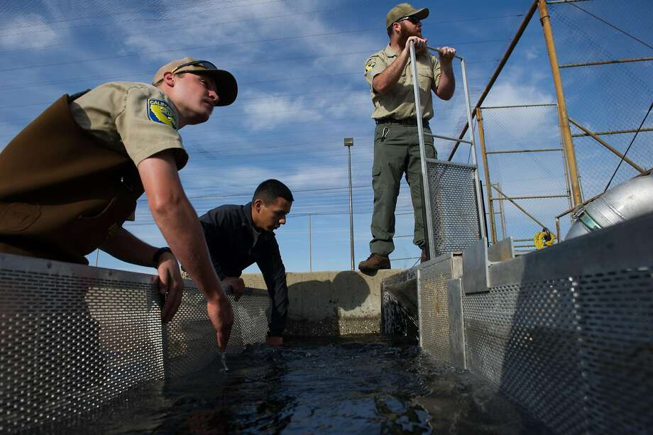 Tony Lombardi, left, Omar Jimenez and Joe Amoroso, with the Department of Fish and Wildlife, move fish from the raceway into a fish truck at the Feather River Hatchery Thermalito Annex in Oroville, Calif. on Monday, March 20, 2017. Photo: Chris Kaufman, Special To The Chronicle