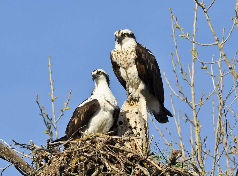 A pair of osprey nest near Clear Lake, a birder's paradise in Lake County. Photo: Faith Rigolosi