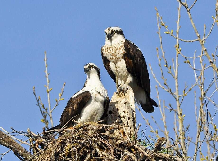 A pair of osprey nest near Clear Lake, a birder's paradise in Lake County. Photo: Faith Rigolosi