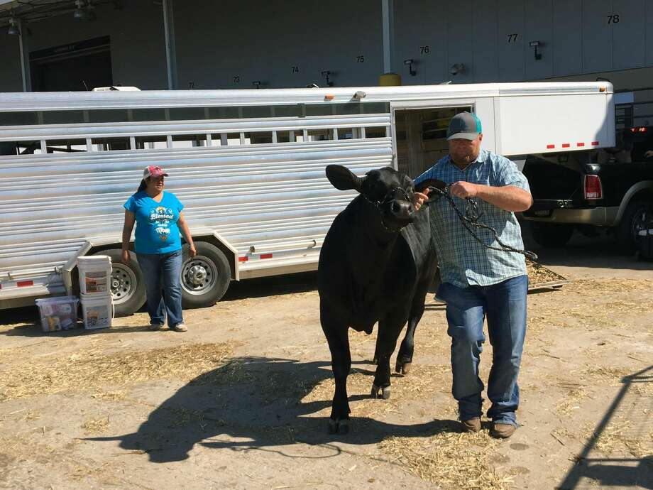 Jimmy Digby, with Scurry County 4-H, leads a steer out of a trailer Monday. Photo: Andrea Rumbaugh