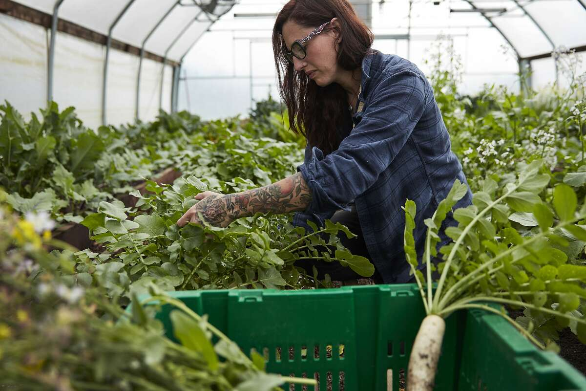 Katina Connaughton harvests vegetables from SingleThread's greenhouse. The restaurant recently purchased a larger farm in Healdsburg.
