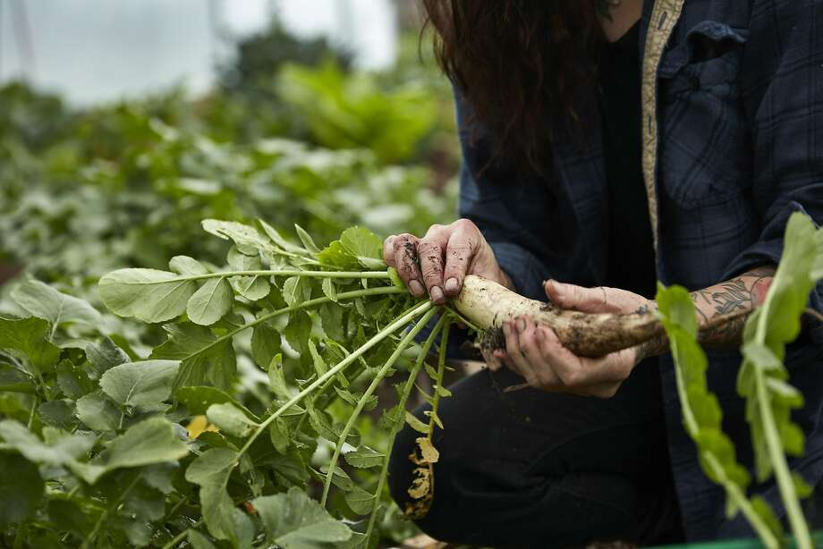 A woman harvests vegetables in this file photo. Photo: John Lee, Special To The Chronicle