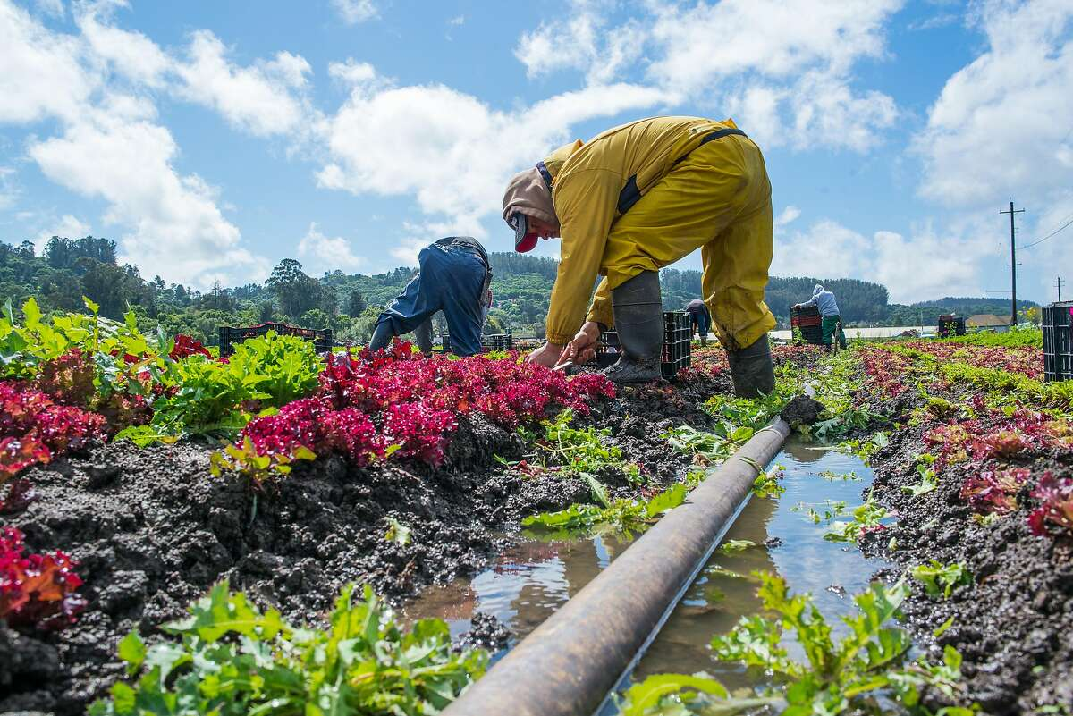 Workers pick lettuce at Happy Boy Farms in Watsoville, Calif. on March 21, 2017. A portion of the crops was destroyed when a nearby river flooded the field.