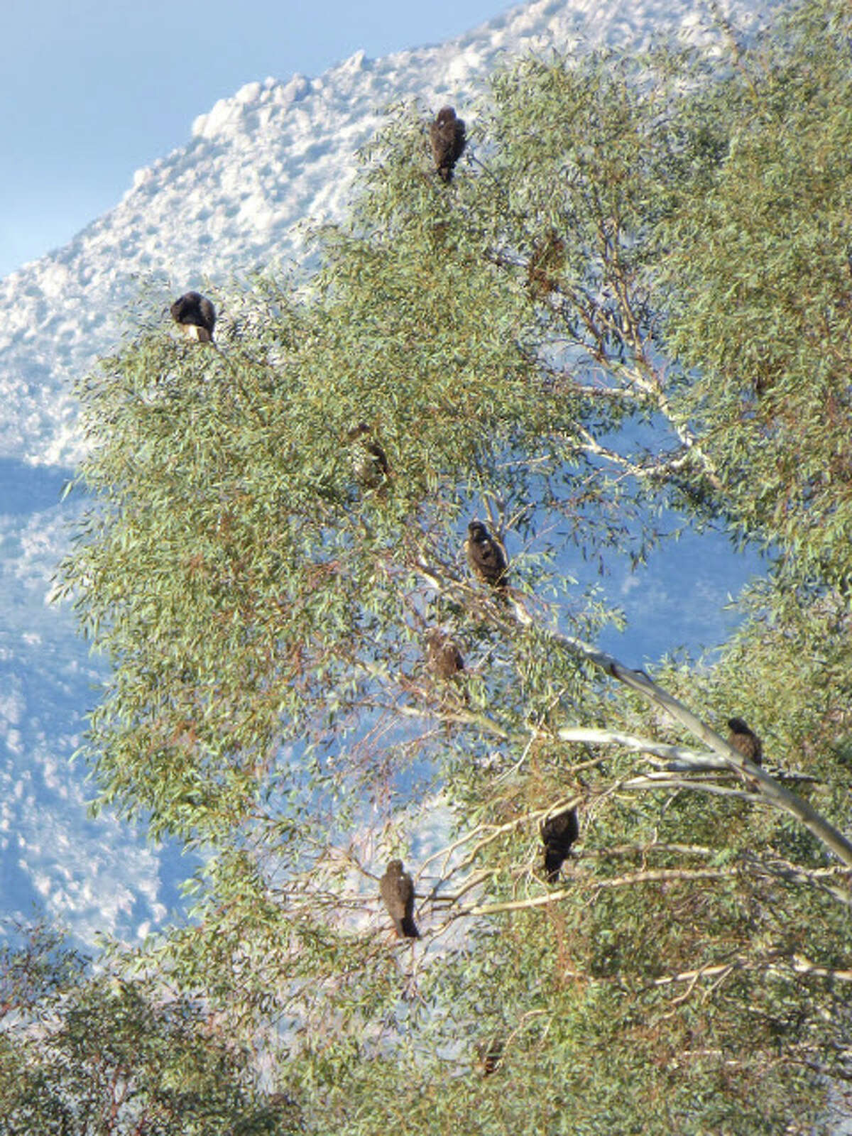It's eat or be eaten in Anza-Borrego State Park. This year, a record number of Swainson's hawks have descended upon the park as a stopover on their yearly winter migration. The hawks eat the white-lined sphinx moth caterpillars, which in turn munch the blooming wildflowers.