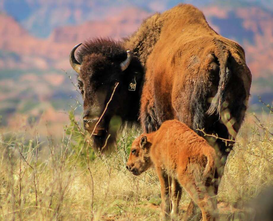 At least 11 bison calves have been born this year at Caprock Canyon State Park. Park superintendent Donald Beard said the park expects to welcome 35 new calves by the end of May 2017. Photo: Caprock Canyons State Park/Facebook