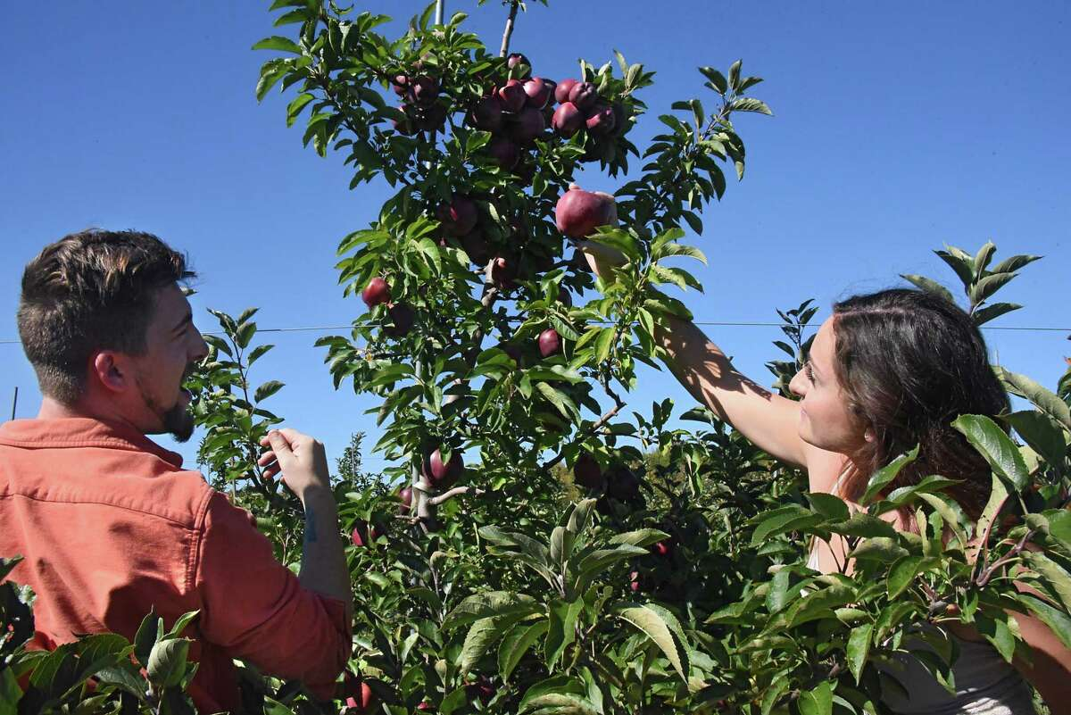 Alex Kundel of Voorheesville and his girlfriend Kara Booth of Suffern pick apples at Indian Ladder Farms on Thursday, Oct. 6, 2016 in Altamont, N.Y. (Lori Van Buren / Times Union)