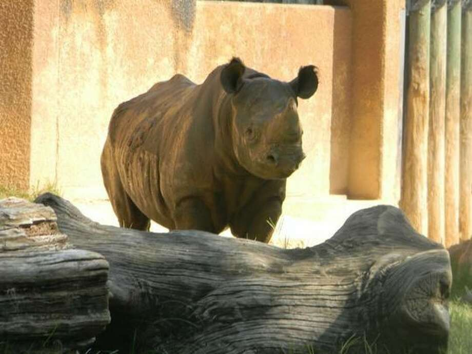A male black rhino at the Caldwell Zoo in Tyler named Phineas has found a love connection with a female black rhino at a zoo in Lansing, Michigan. It's hoped that the pair will procreate to save their species, which is currently endangered.Click through to see which animals in the United States are currently endangered... Photo: Caldwell Zoo