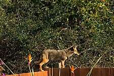 A rare sighting of a coyote on a backyard fence of a home in Millbrae on the Peninsula in San Mateo County was captured in a photograph as it apparently hunted for house cats and small dogs.