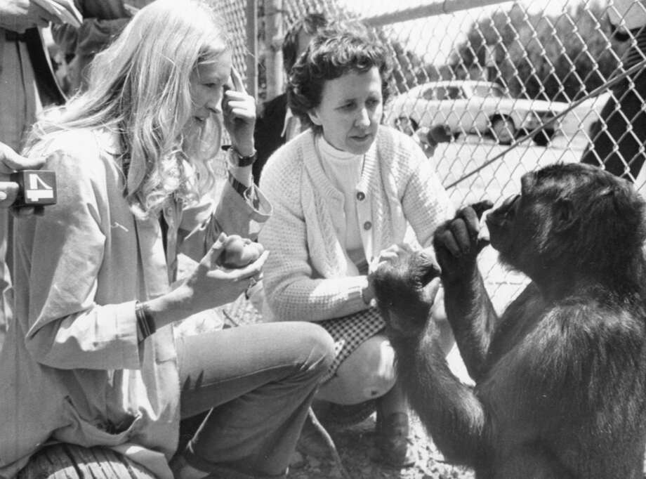 "At left Francine ""Penny"" Patterson, then a graduate student at Stanford and main instructor of Koko, asks the gorilla if she is hungry and Koko is answering back that she is. In center is June Monroe, an interpreter for the deaf at St. Luke's Church, who helped teach Koko. Photo: Bettmann/Bettmann Archive"