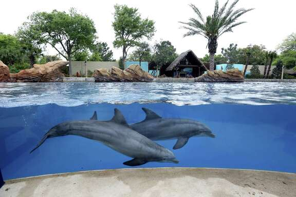 Two male dolphins swims in their enclosure at SeaWorld San Antonio. SeaWorld announced Friday that Zhonghong Zhuoye Group Co., a Chinese leisure and tourism holding company, has acquired a 21 percent stake from Blackstone Group at $23 per share.