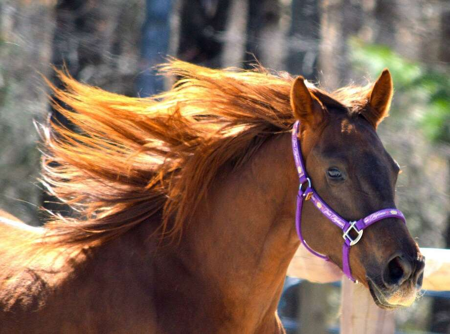 HORSE of Connecticut in Washington will hold a birthday celebration for Fiona, above, and her friend, Gus, March 25 from 10 a.m. to noon. A rain date of March 26 is planned. Photo: Courtesy Of HORSE Of Connecticut / The News-Times Contributed