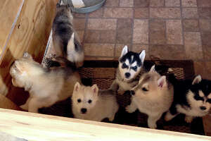 Two men are accused of snatching six newborn Husky puppies from a north Harris County backyard, authorities said Friday. Jose Reyes Garcia, 19, and  Victor Adrian Galindo, 17, are charged with theft for a March 2 incident in which they were allegedly captured by a residential surveillance camera. The two are shown climbing over a fence and grabbing the dogs from the backyard of a home on Ridge Stream Lane. Five of the dogs, which would now be two months old, remain missing.  Image of six Husky puppies before they were stolen from a Harris County backyard