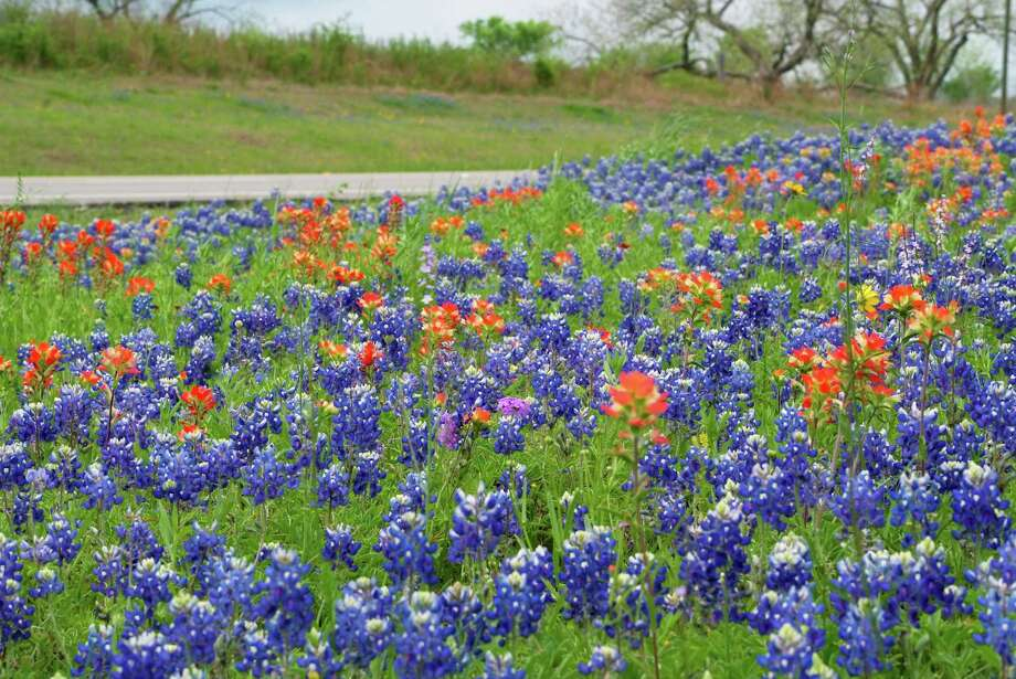 Bluebonnets and Indian paintbrush may flush in late March, about 10 days earlier than normal, at Austin's Lady Bird Johnson Wildflower Center this spring. Photo: Brenda Jackson
