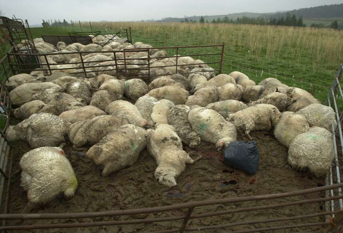 Dead sheep are seen in field in Cheldon, southwestern England, in 2001. The sheep were culled after nearby livestock tested positive for the foot and mouth disease.
