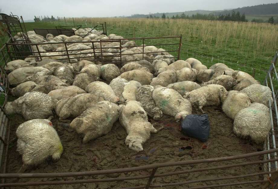 Dead sheep are seen in field in Cheldon, southwestern England, in 2001. The sheep were culled after nearby livestock tested positive for the foot and mouth disease. Photo: Associated Press /File Photo / AP