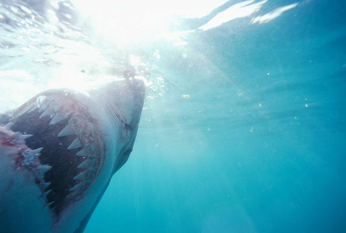 Video shows great white shark attacking kayaker in Monterey Bay - March 18, 2017 Gene Mace caught a terrifying encounter on camera when a great white shark attacked a kayaker in Monterey Bay. In the video, Mace can be heard telling his wife that the kayaker was pushed into the water by a shark. FULL STORY
