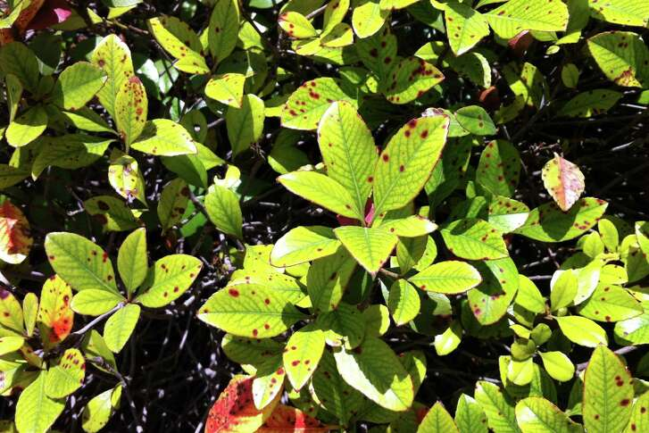 This looks like Entomosporium fungal leaf spot. ItÕs the same disease that has ravaged redtip photinias all across America, and now it is attacking the closely related Indian hawthorns. Unfortunately, there is no control for it.