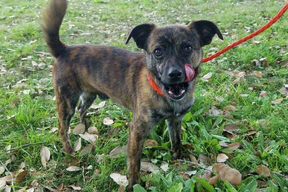 Rocky will be available for adoption at 11 a.m. Friday at Citizens for Animal Protection, 17555 Interstate 10 W. More information: cap4pets.org or 281-497-0591.