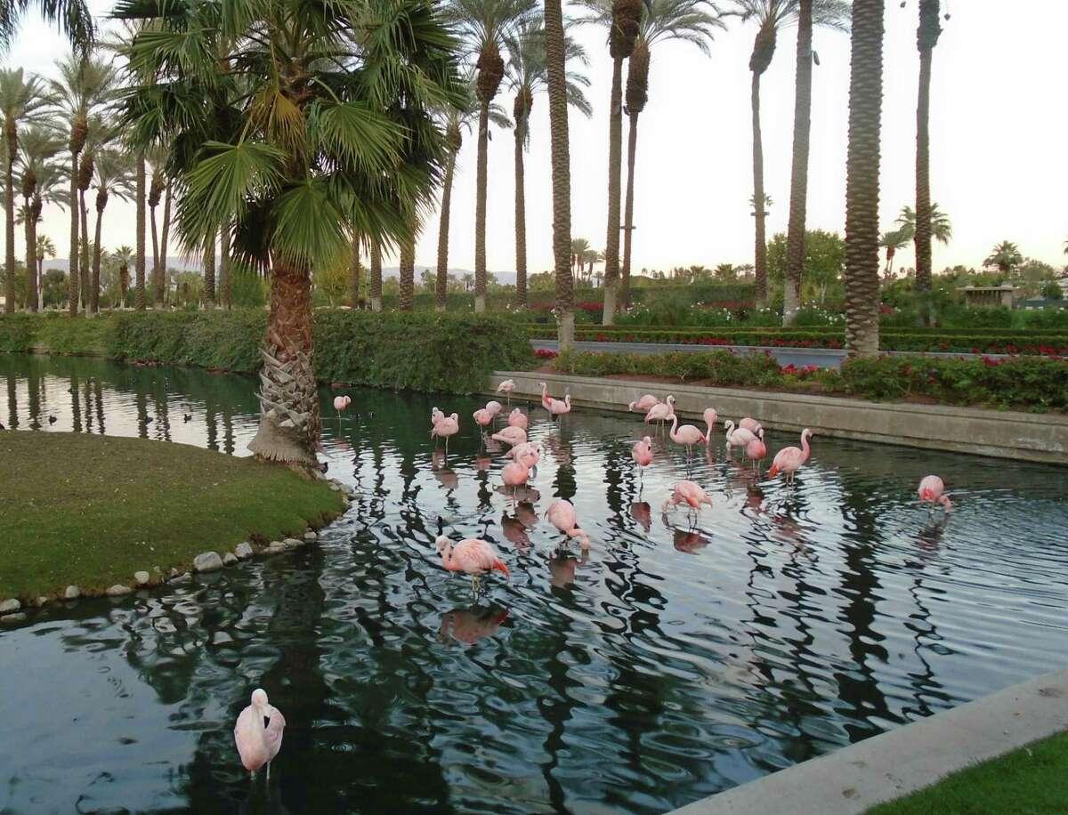 Pink flamingos wade at JW Marriott Desert Springs Resort in Palm Desert, California.