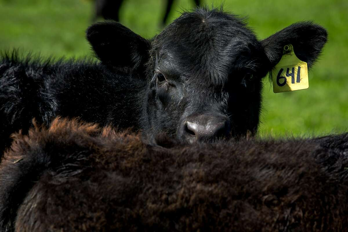 Angus cattle at Bill Niman's ranch on Wednesday, March 22, 2017, in Bolinas, Calif. Niman, founder of Niman Ranch, has sold his grass-fed beef company, BN Ranch, to meal kit delivery company Blue Apron. Niman will retain the title of president and founder of BN Ranch within Blue Apron.