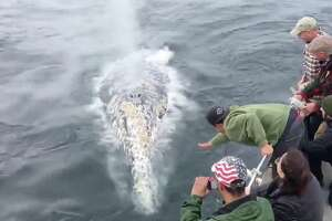 Grey whales swim up to a whale watching boat off Fort Bragg in San Francisco.