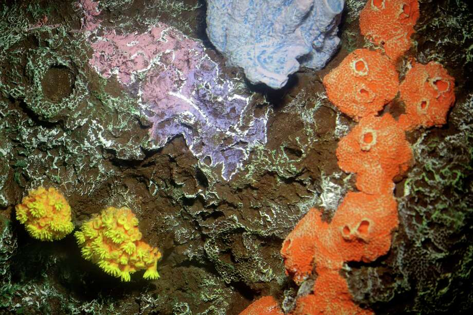 This example of coral found in the East Flower Garden Banks is part of a new exhibit at Moody Gardens' Aquarium Pyramid. The pyramid has been closed for renovations since January and will reopen Memorial Day weekend. Photo: Elizabeth Conley, Houston Chronicle / © 2017 Houston Chronicle