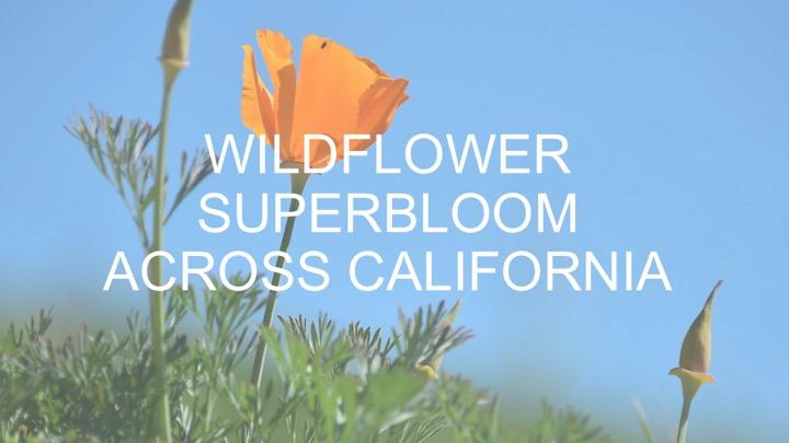 Superbloom? Dazzling wildflowers blanket California