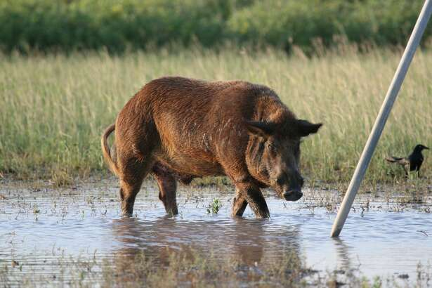 BIG PIG - A large boar feral hog roots for corn kernels sunken beneath several inches of rainwater under a deer feeder. Texas feral hog population, estimated at 1.5-2 million animals, competes directly with deer and other wildlife.