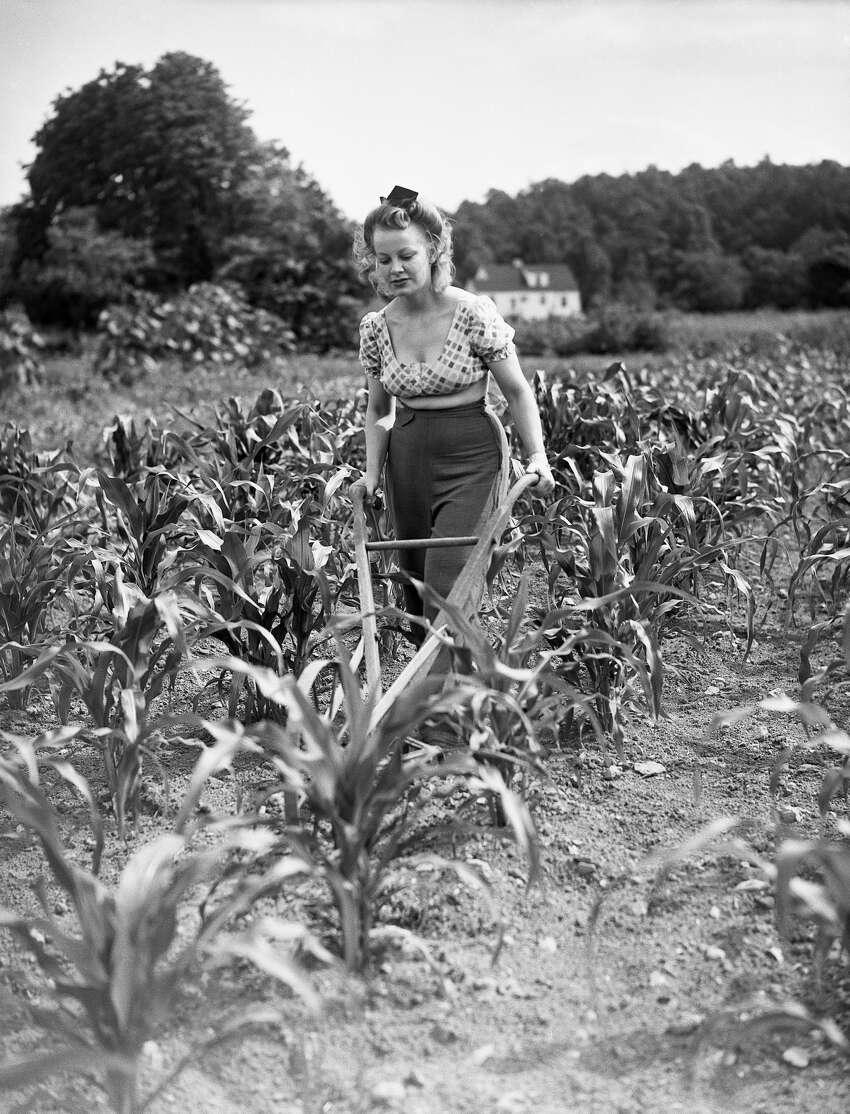 (Original Caption) Norwalk, CT: Laura Zaleski cultivates corn on a farm near Norwalk, CT. Photo circa 1950. Photo by Bettmann/CORBIS/Corbis via Getty Images